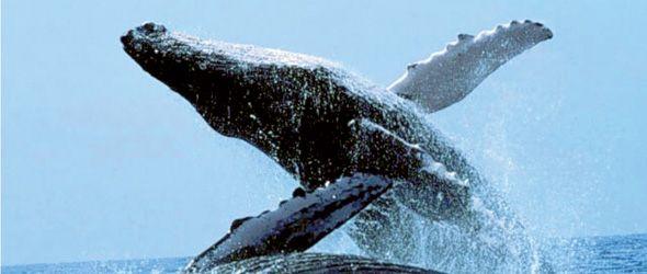 Las ballenas jorobadas atraen miles de turistas cada año a Samaná.