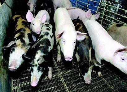 En las granjas de ganado vacuno o porcino se recomienda la instalación de reactores para la generación de energía utilizando las excreta