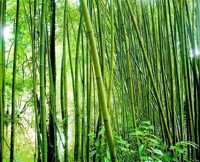 Plantación. El bambú es ideal para la generación de energía utilizando biomasa. Su crecimiento diario es de unos 30 centímetros.