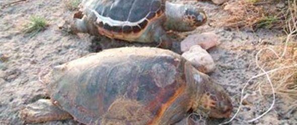liberan-tortugas-tinglar