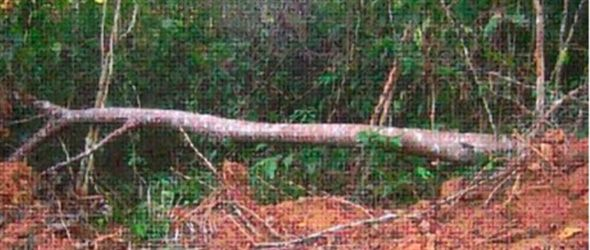 Denuncian tala árboles en Sabana de la Mar