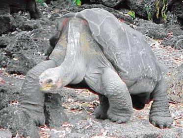 El regreso de las tortugas gigantes