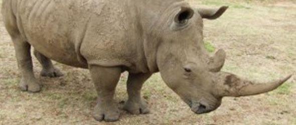 Luchan contra extinción de rinocerontes blancos con células madre: quedan ocho