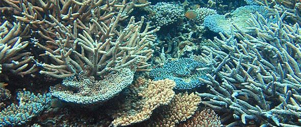 El calor mata a corales caribeños