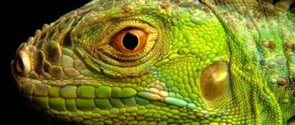 prohíben comercializar la iguana verde por su impacto negativo