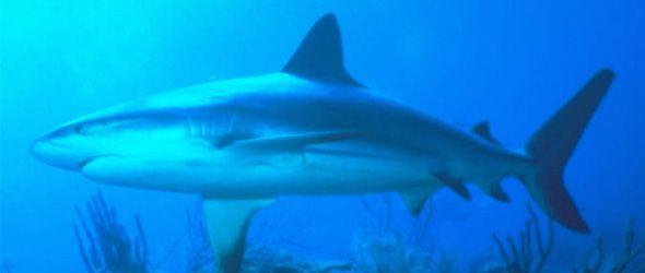 Ambientalistas: tiburones en peligro por la pesca excesiva