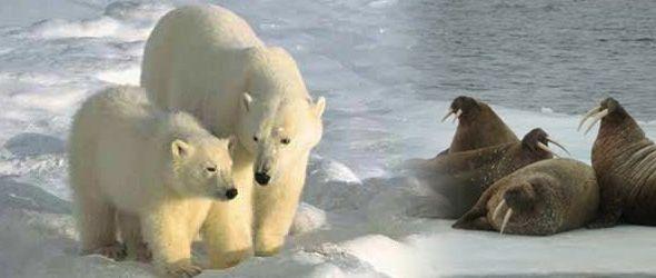 Osos polares y morsas, en riesgo por falta de hielo en el Ártico