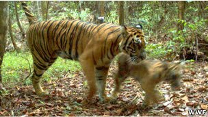 Tigres de Sumatra en peligro por la tala de bosques en Indonesia