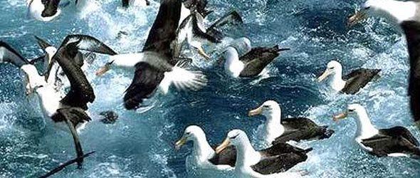 """Industria pesquera """"deja cientos de miles de aves marinas muertas cada año"""""""