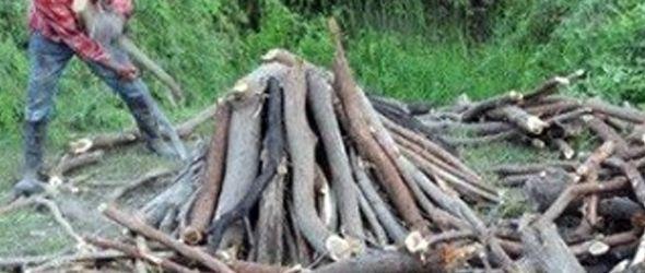 Depredan árboles de caoba y roble en Bonao