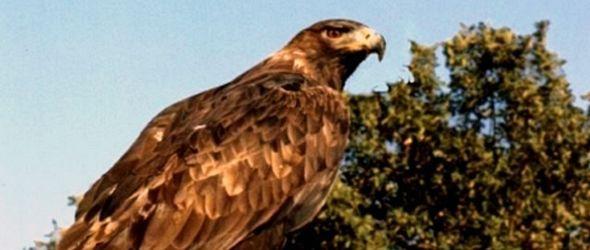 Observan especie de águila que no se veía en México desde 1998