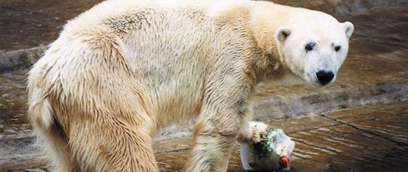 winner-oso-polar-argentino