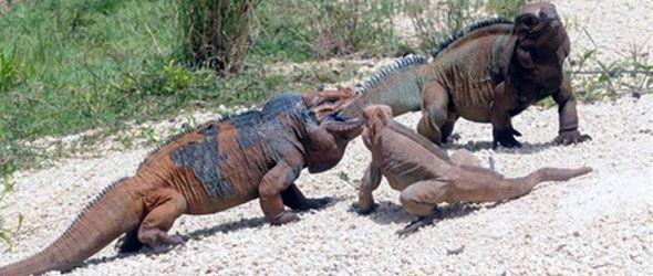 iguanas-refugio-este