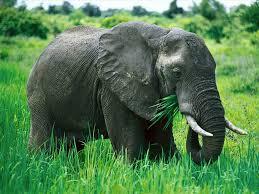 africa elefante
