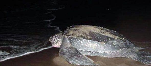 tortugas-tinglar-puerto-rico