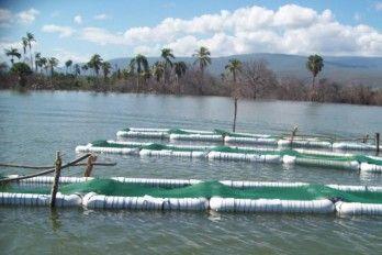 Criar tilapias en el lago enriquillo acci n verde el for Construccion de jaulas flotantes para tilapia