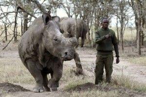 rinoceronte_blanco