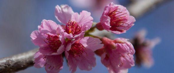 constanza-festival-floracion-cerezo