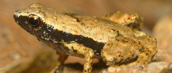 Más de 80 % anfibios de La Española está en peligro de extinción