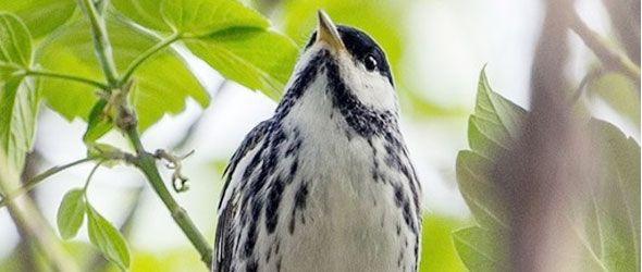 Reinita estriada o chipe gorrinegro (blackpoll warbler)