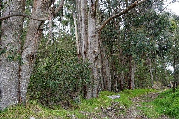 Eucalipto introducido, una especie que es recomendable eliminar y que suministraría buena madera a necesidades del parque. Notar el tamaño