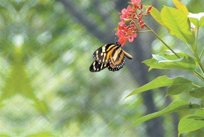 """""""Las mariposas tienen sus colores favoritos -dice-, según un estudio que realizamos el año pasado. Le pusimos varios colores para darnos cuenta por cuáles se inclinaban y descubrimos que el rojo, el amarillo y el naranja son sus colores favoritos""""."""