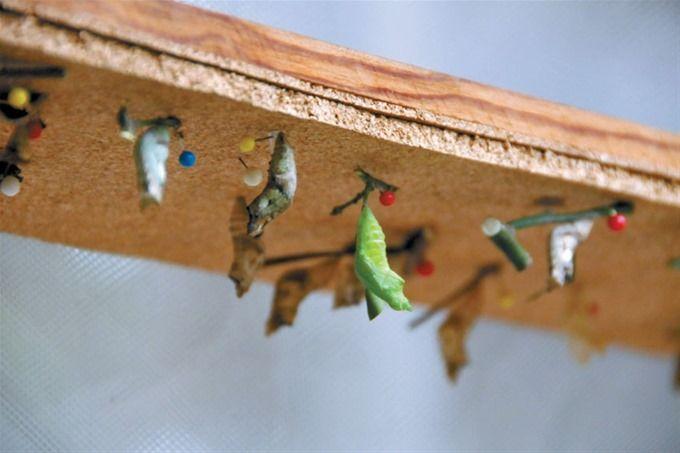 En el Mariposario el público aprende sobre el ciclo de las mariposas, desde que son huevos hasta que emprenden vuelo.