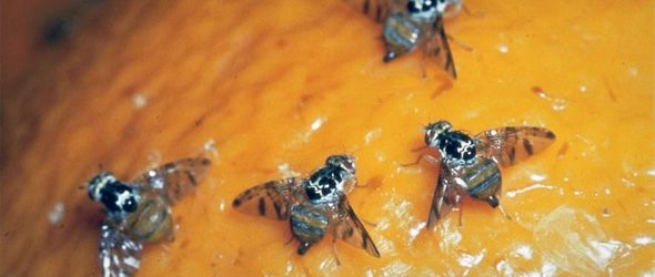 Según Agricultura, la fase final del protocolo para el control y la erradicación de la Moscamed implica la liberación de 100 millones de especímenes estériles y fumigar el área donde se ha focalizado la plaga