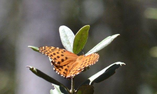 volatinera falsa menor (Anatia briarea)
