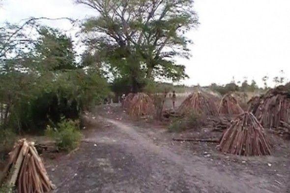 Personas que viven en los barrios próximos a la frontera denunciaron este sábado la tala indiscriminada árboles, incluyendo mangles y los de uvas de playa en la orilla del río en la parte dominicana por nacionales haitianos que luego lo usan para hacer carbón vegetal.