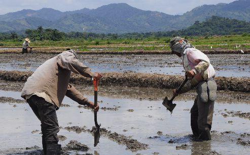 La sequía impactará producción de arroz