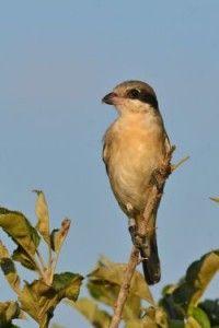 El alcaudón chico, una de las aves en peligro en España por la agricultura intensiva y uso de plaguicidas.