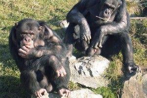 chimpaces