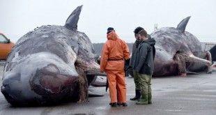 Cachalotes-muertos-en-el-mar-del-norte