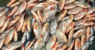 pecesenvenenados