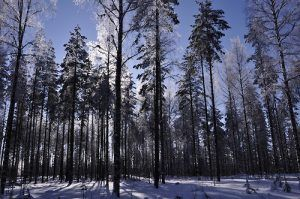 bosqueboreal