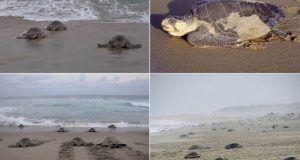 tortugasgolfinas