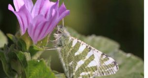mariposasmediterraneo